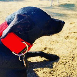 Perro con collar martingale rojo pasión
